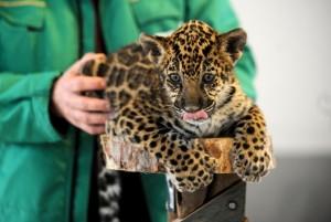 Un pui de jaguar – sibian cu acte-n regulă