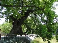 Primăria, stejarul și erorile
