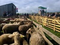 Sprijin pentru crescătorii de ovine