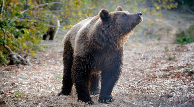 ALERTĂ! Prezența unui urs a fost semnalată la Tocile. Recomandările autorităților