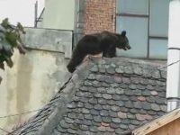 Dosarul ursului ucis la Sibiu, transferat la Alba