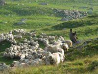 Propunerea oierilor: România trebuie să aibă o statuie pentru oaie, chiar la Sibiu
