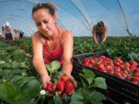 Spania așteaptă căpșunarii sibieni