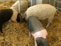 Purcei dați gratuit fermierilor care vor să crească porci Mangalița și Bazna
