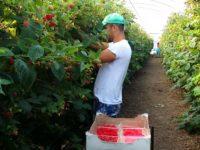 300 de locuri de muncă, la cules zmeură, în Portugalia