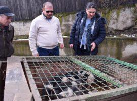 Peste 400 de purcei de Bazna și Mangalița din județul Sibiu au intrat în programul finanțat de Guvern