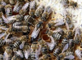 Albina carpatină, eroină. Sibienii produc cea mai bună miere polifloră din lume