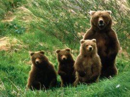Turişti din Bucureşti, fugăriţi de o ursoaică pe un traseu foarte circulat din Munţii Bucegi. Jandarmii le-au găsit rucsacurile sfâşiate