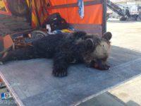 Incidentele cu urși, tot mai dese în județul Sibiu