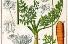 LEACURI DIN NATURĂ | Morcovul (Daucus carota)