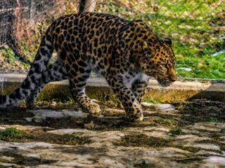 Un leopard și doi lupi albi, noile vedete de la Zoo Sibiu   FOTO