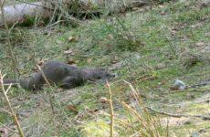 Vidrele și castorii de pe Târnava Mare se află sub protecție europeană