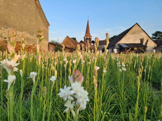 Tuberozele de Hoghilag, primele flori certificate european – Indicație de Origine Protejată
